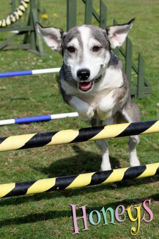 dog jumping agility cobham honeys doggy day care