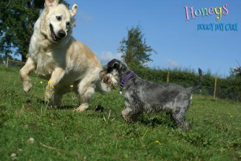 dogs running playing cobham honeys doggy day care